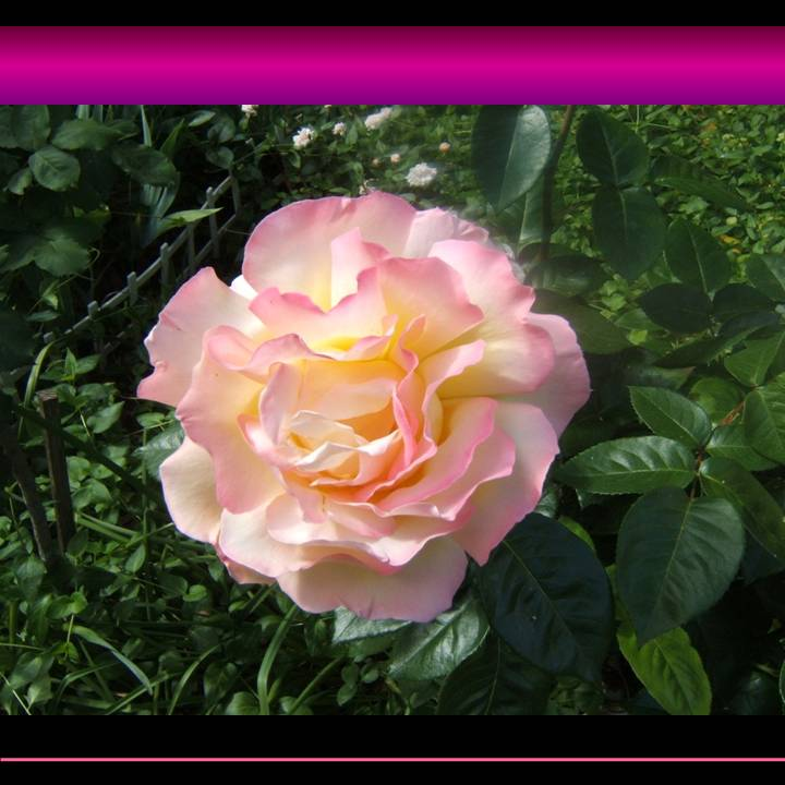 Bernadette's picture of a beautiful rose