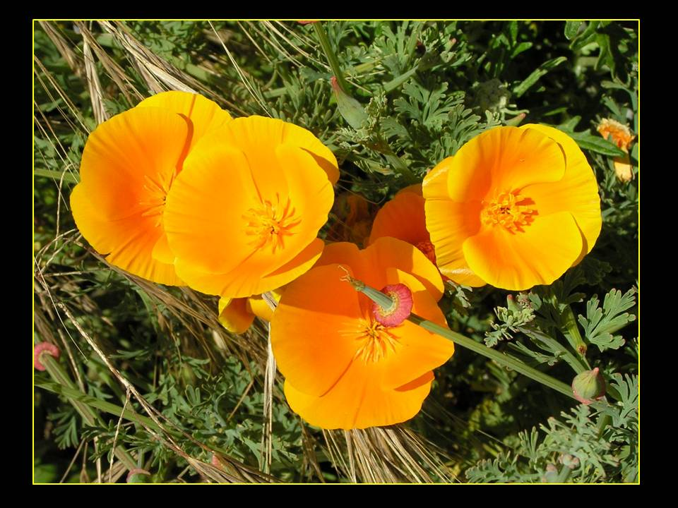 California poppies photo by Michele Szekely