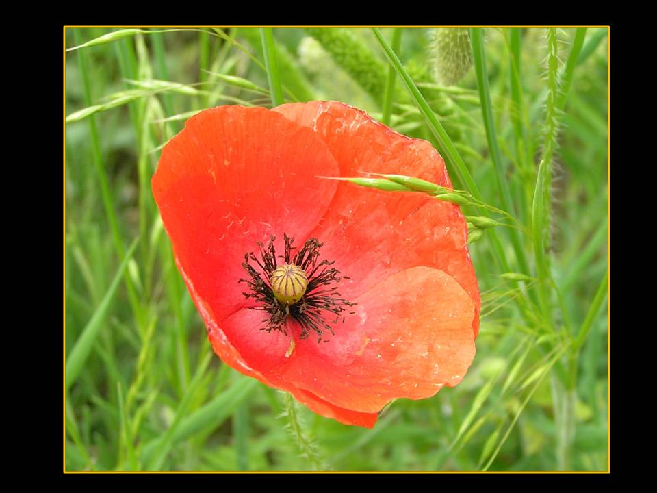 Un beau coquelicot photo by Michele Szekely