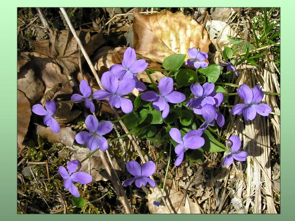 Little violets in the Forest in the French Alps - photo by Michele Szekely